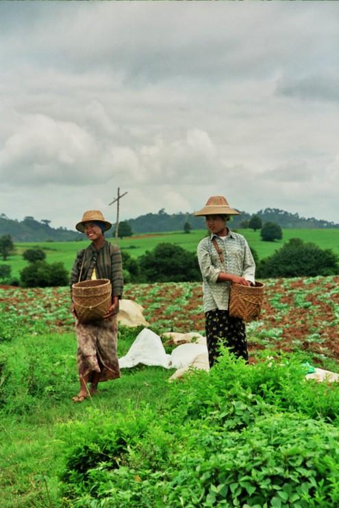 Campesinos recolectando en Mandalay.